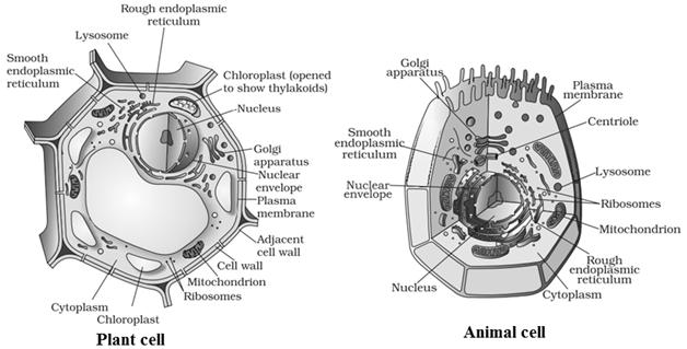 पशु कोशिका और पादप कोशिका के बीच अंतर