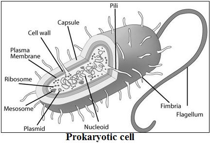 प्रोकैरियोटिक कोशिका की संरचना